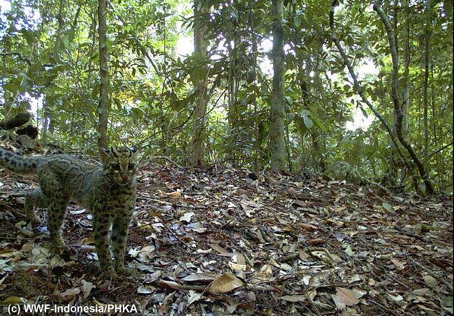 Il gatto leopardo (Prionailurus bengalensis). Lunghezza 45-65 cm, peso 5-8 chili, paragonabile al gatto domestico