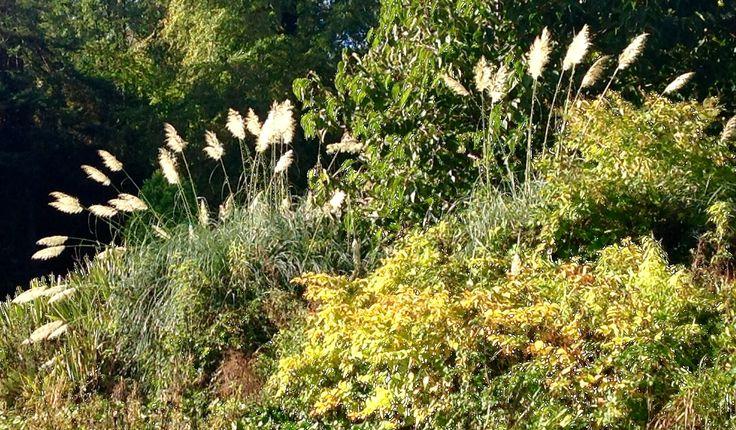 Pampas Grass, Cortaderia
