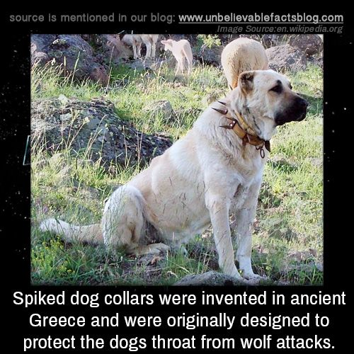 Spiked dog collars were invented in ancient Greece and were originally designed to protect the dog's throat from wolf attacks.