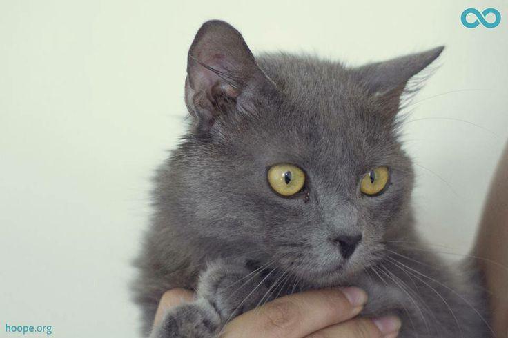 Vincent, gato en adopción en Madrid (España) cpa.torrejon@hoope.org