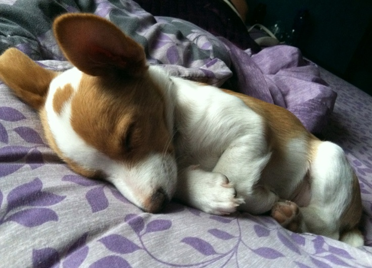 Our Rescue Puppy - Half Rat Terrier / Half Corgi ?  We named this charmer Cassanova.  Look at the heart on his head!