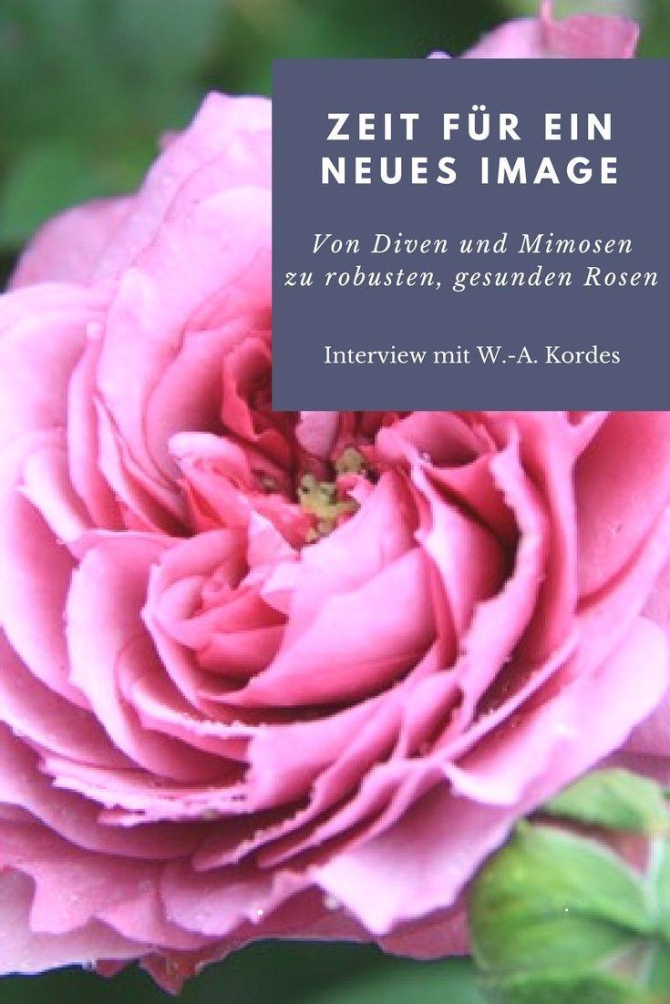 Von Diven Und Mimosen Zu Robusten Gesunden Rose Rosen Pflanzen