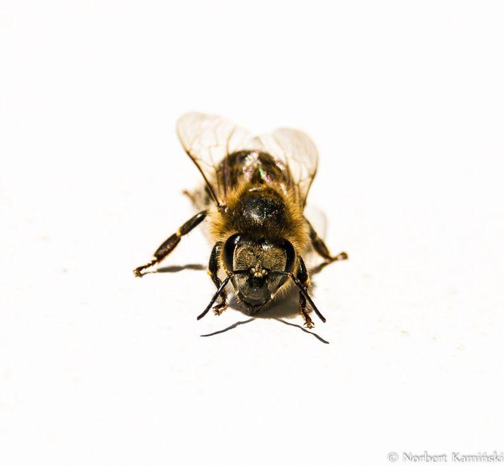 Bee by Norbert Kamiński on 500px