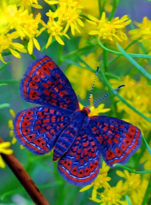 "Prairie Spark-Little Metalmark. ""Butterflies are flying flowers !"".                                                                                                                                                     More"