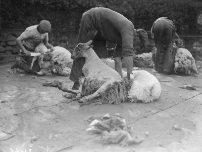 Sheep ShearingWelsh Folk, Sheep Shears, Farms Life, Cymru Forever