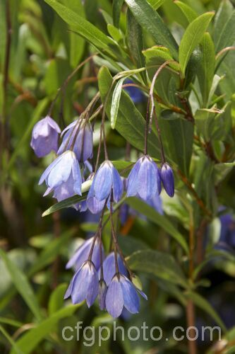 Australian Bluebell (Sollya heterophylla [syn. Sollya fusiformis]), a spring- to autumn-flowering sprawling shrub native to Western Australia. In cultivation it is usually trained as a climber. It also occurs in white- and pink-flowered forms and the flowers are followed by small, oval, dark blue fruits.