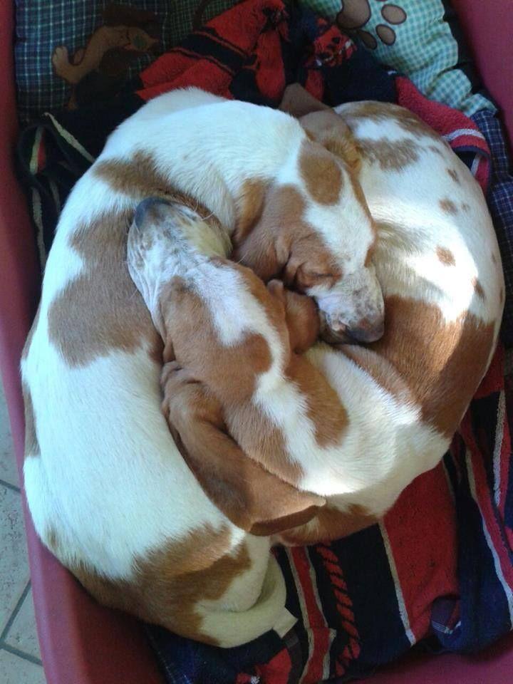 love basset hound!!!