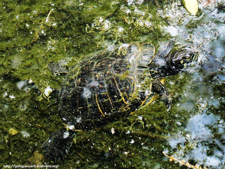 Villa Prever - the pond turtle - laghetto delle tartarughe - Pinerolo - Italy Villa Prever - the pond turtle - laghetto delle tartarughe - Pinerolo - Italy