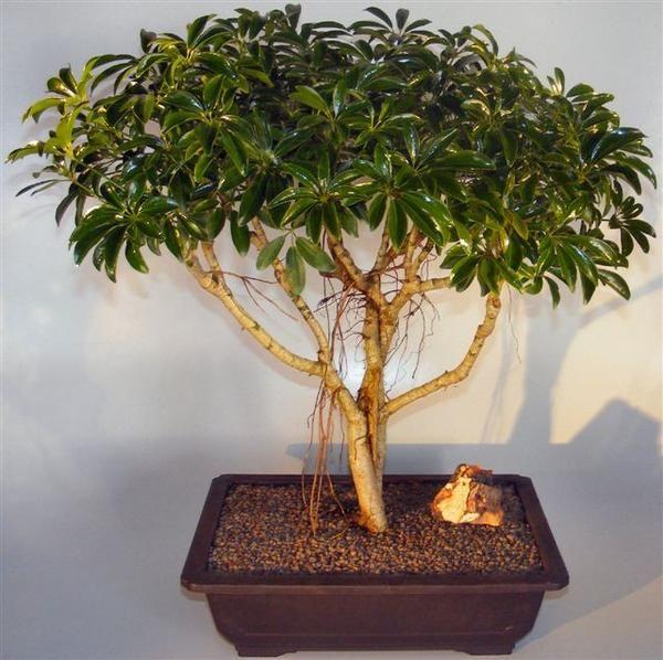 Hawaiian Umbrella Bonsai Tree Braided Trunk Style (arboricola schefflera)