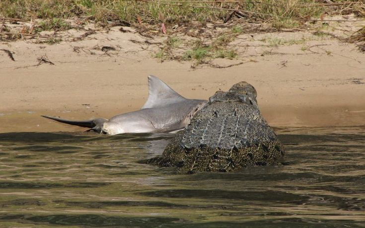 a massive saltwater crocodile eating a helpless bull shark.as Peter Jones went on a river cruise in Kakadu National Park in the Northern Territories, Australia.