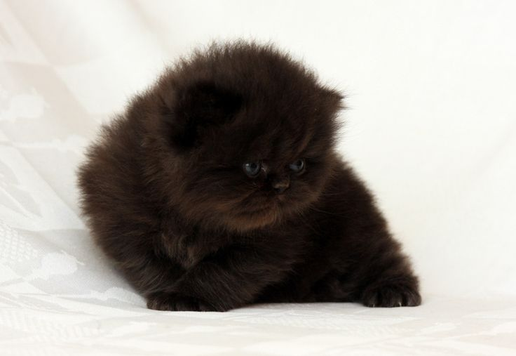 Pictures Persian Cats | Black White Persian Cat Pictures ...