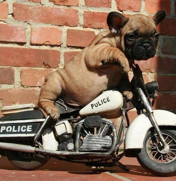 French Bulldog riding to the rescue