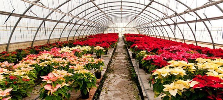 La planta más navideña: La Flor de Pascua o Estrella Federal