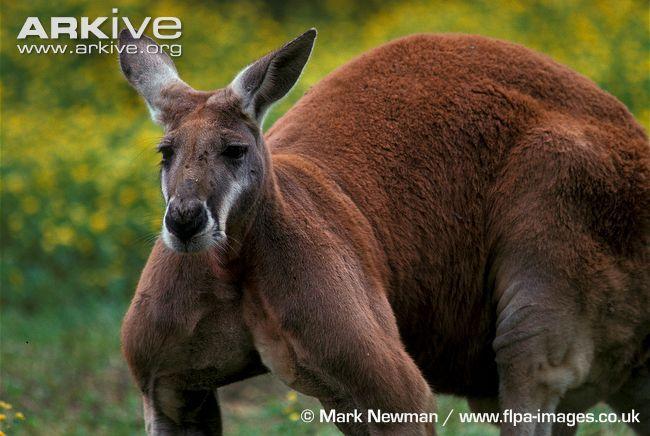 Red kangaroo videos, photos and facts - Macropus rufus | ARKive