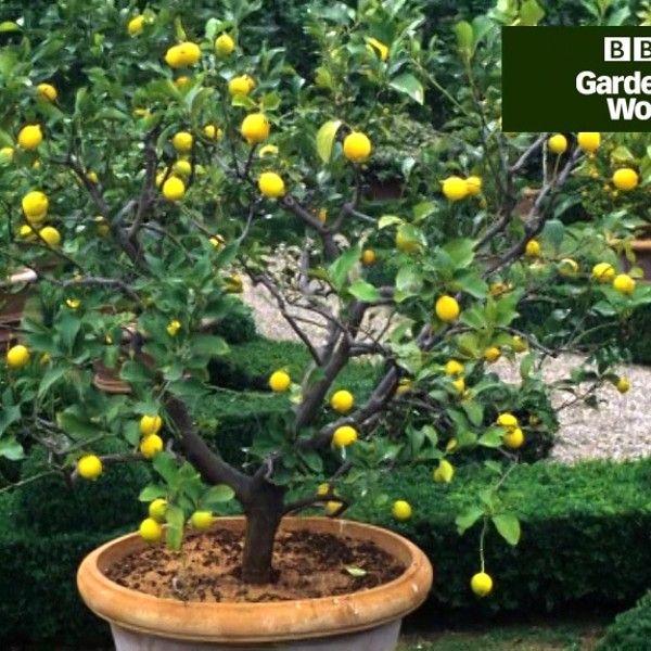 How To Grow Orange And Lemon Trees In The Uk Citrus Trees Citrus Plant Lemon Tree