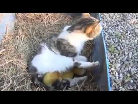 ▶ Cat adopts three ducklings - YouTube. Guaranteed to make you smile