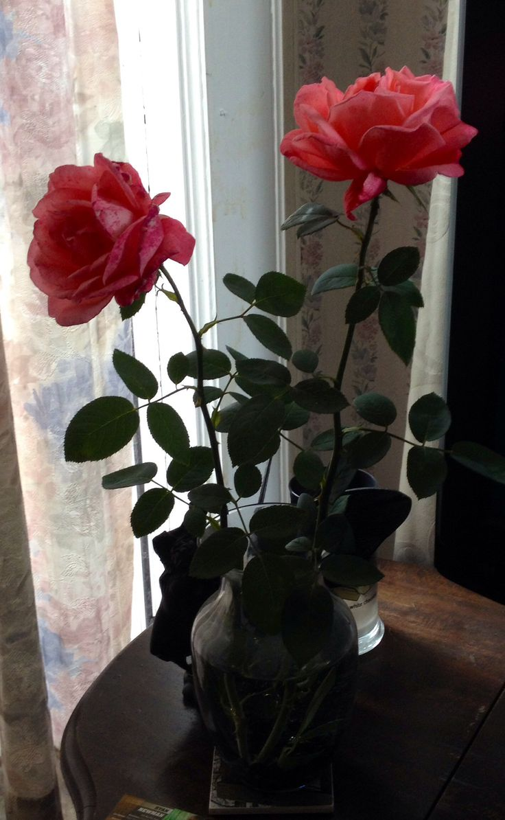 Coral long stem roses from my rose bush