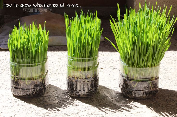How Much Wheatgrass Should I Drink For Cancer