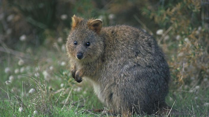 French tourists charged over singed quokka | SBS News