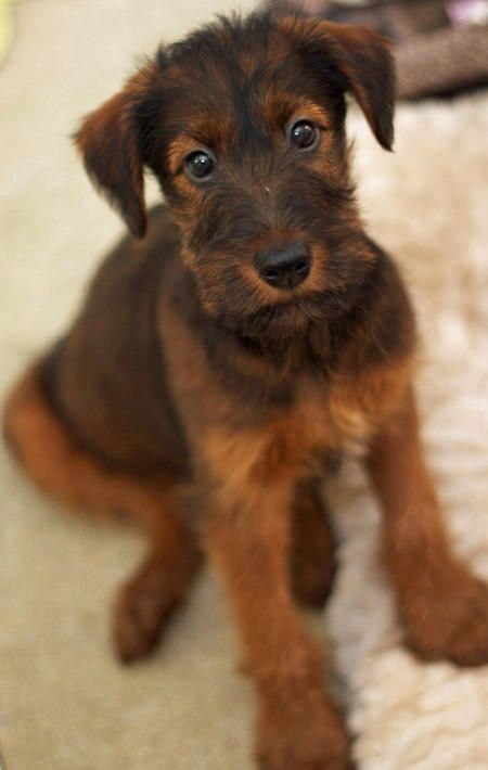 Irish Terrier. Reminds me of Nelson & Tiger when they came home with me - 'course Airedales have a bit more light fur under those black shaggy hairs... love em all ;-)