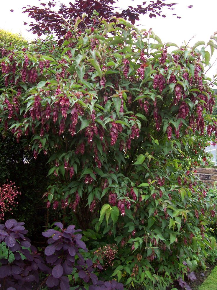 25 best ideas about tall shrubs on pinterest backyard for Large bushes for landscaping