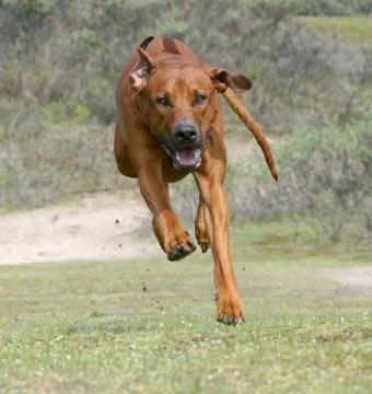 Rhodesian Ridgeback - African lion hunting dog. Best dog to have