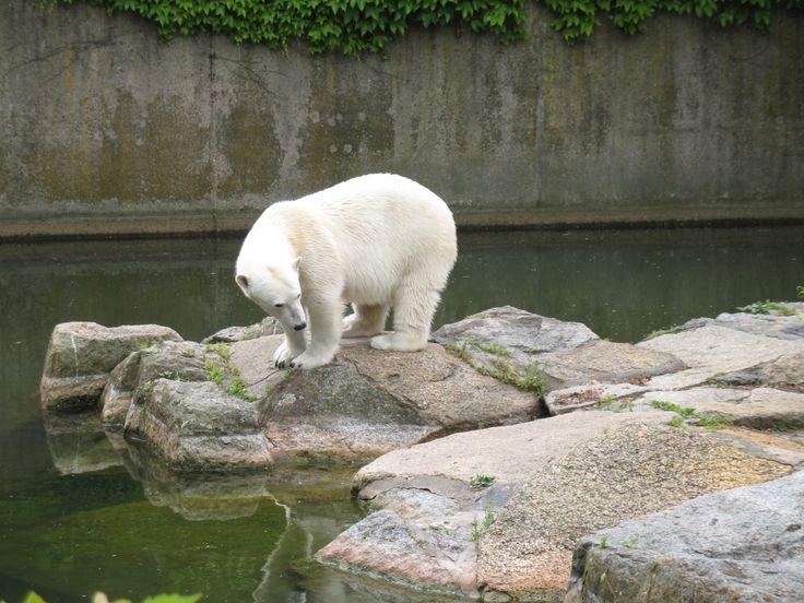 Miren este #OsoPolar :) en #Berlin #Zoologischer #Garten