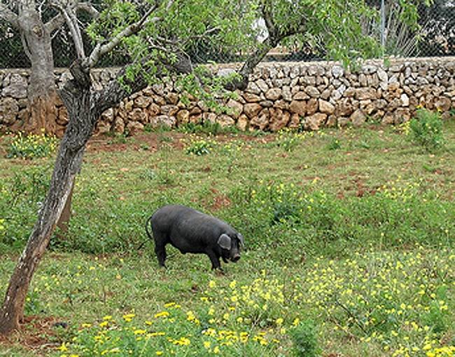 Porc negre mallorquí - cerdo negro mallorquín