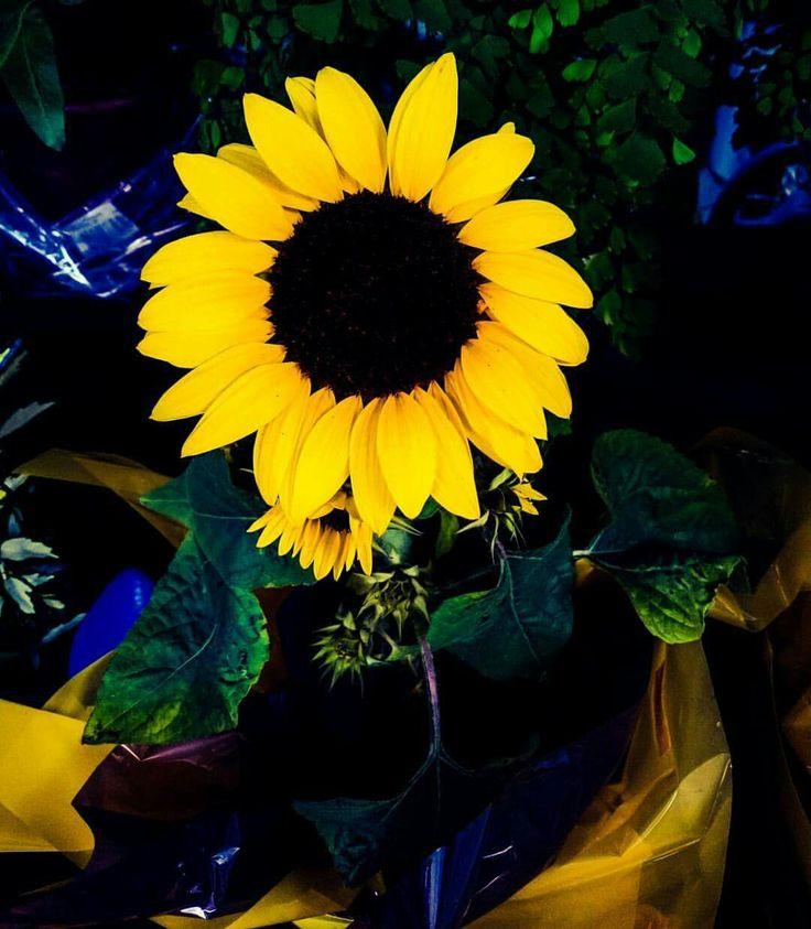 Quero ver o sol nascer de novo aqui pra despertar Tudo aquilo que senti - #robertacampos 🌻  #girassol #sunflower #girasol #girasole #عبا الشمس  #nature #natureza #vida #fotografia #nature_perfection #sunset #instanature #natural #photo #الإيجابية 🌞
