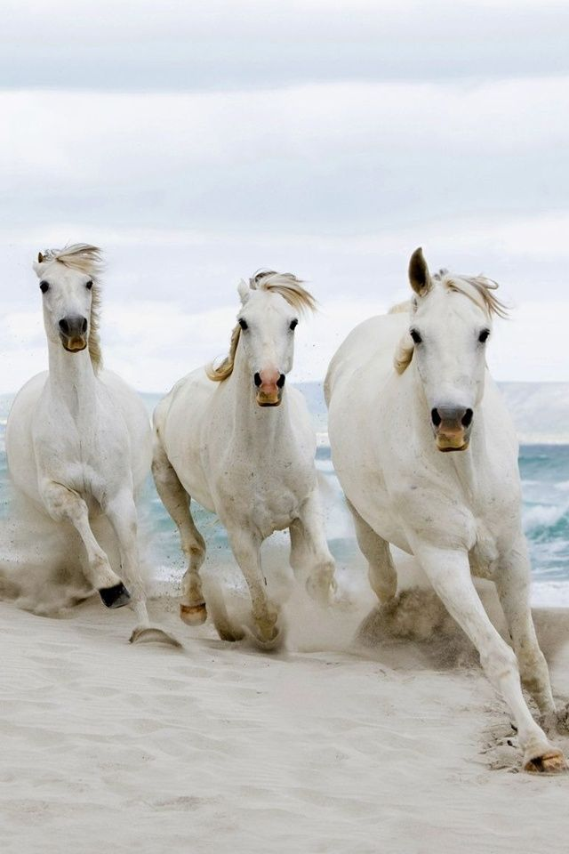 Wild white horses galloping across the white sandy beaches!