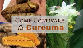 Ecco una guida completa su come coltivare la curcuma in casa facilmente. La pianta di curcuma cresce bene anche in vaso. Fare la curcuma in polvere in casa