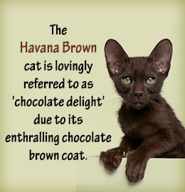 Havana Brown Cat ~ via www.buzzle.com/articles/everything-you-need-to-know-about-the-havana-brown-cat.html