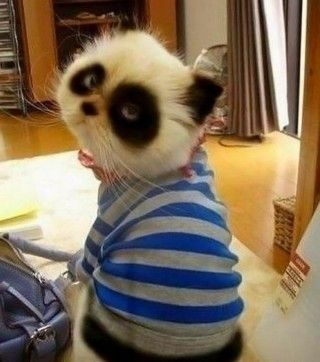 panda cat!! almost as good as the pokemon cat!