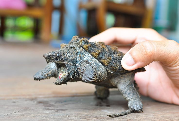 Young Alligator Snapping Turtle - photo from tailandfur;  mainly found in the Southeastern U.S. and gets its name from their alligator-like appearance. They lie motionless with their mouth wide open, waiting for dinner to swim in. It is a large freshwater turtle.