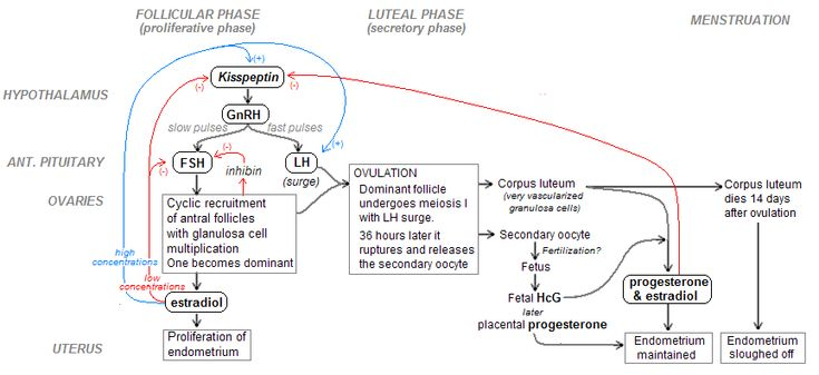flow chart menstrual cycle: Menstrual cycle hormones flow chart google search nutritionist