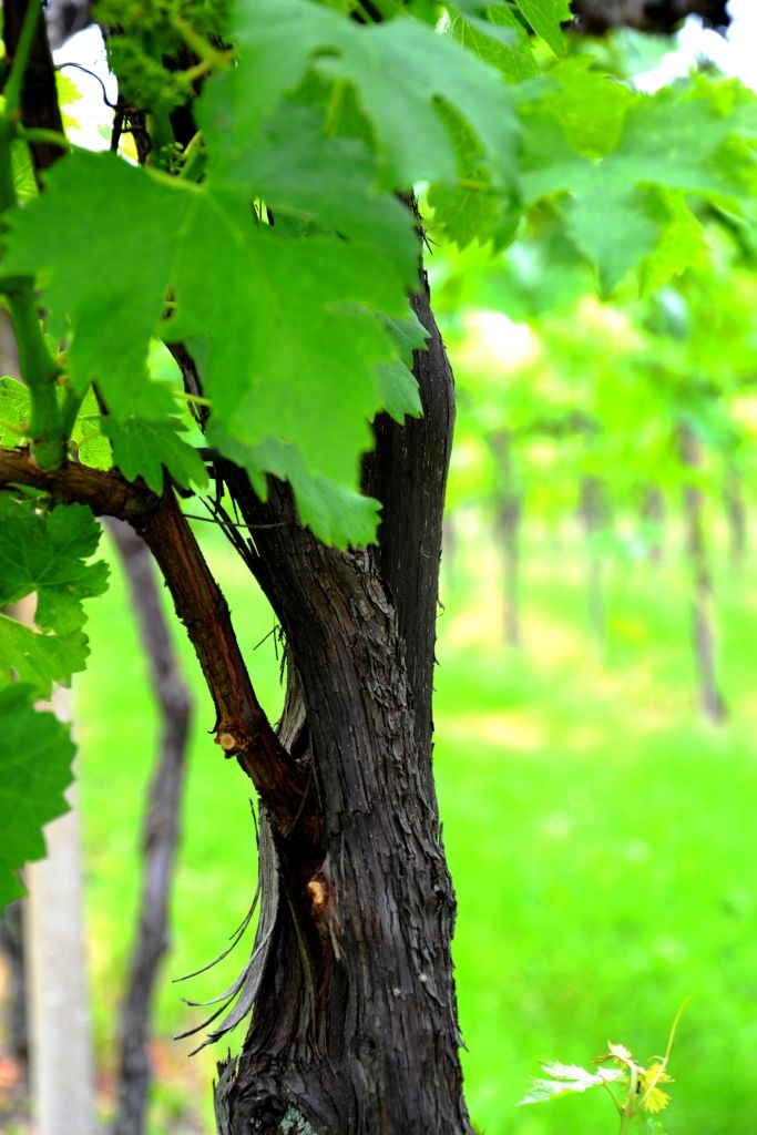 vine # wine # B Pianoro # boutique bed and breakfast