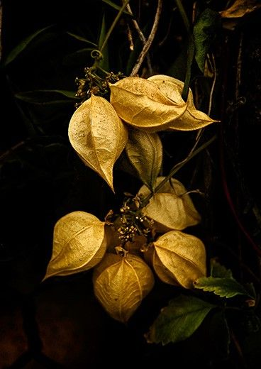 Chinese lanterns [Physalis alkekengi] -  it can be invasive with its wide-spreading root system sending up new shoots some distance from where it was originally planted.