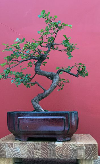 Chinese Elm Bonsai at the Minnesota Bonsai Society 2016 Mother's Day Show.