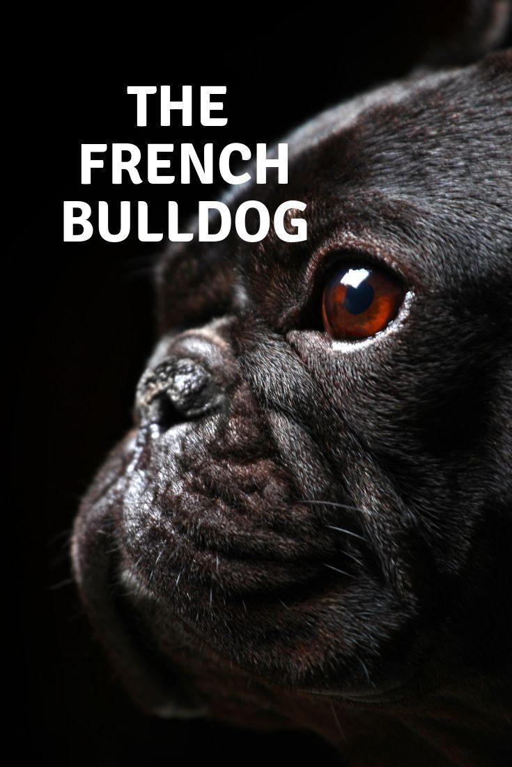 The French Bulldog Dog Breed Characteristics Health Problems