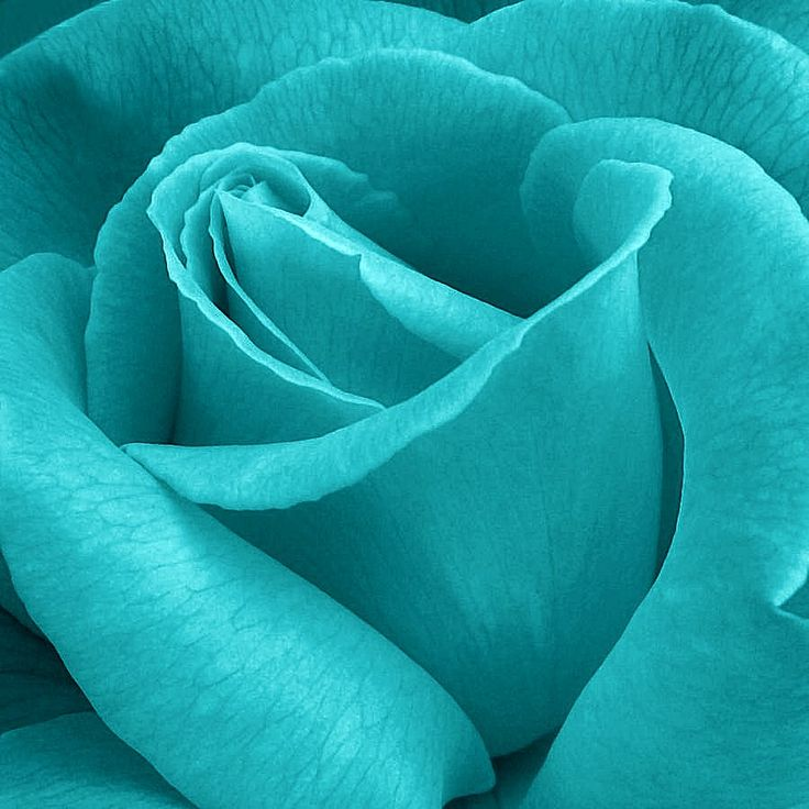 Turquoise Rose Close-up