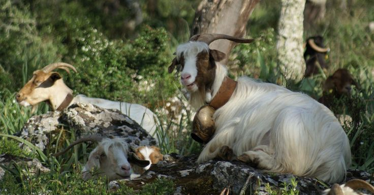 The typical sardinian and corsican goats