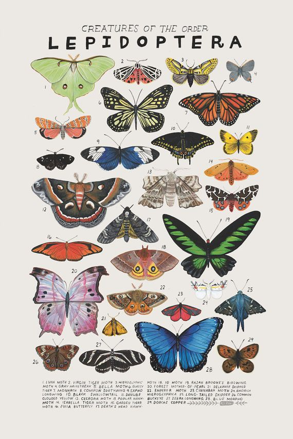 Creatures of the order Lepidoptera, 2016. Art print of an illustration by Kelsey Oseid. This poster chronicles 29 beautiful butterflies, moths, and skippers from the taxonomic order Lepidoptera. Print measures 12x18 inches. Printed in Minneapolis on acid free 80# Mohawk Superfine cover.  Packaged in a protective compostable cellophane sleeve, and sent to you in a bendproof oversize envelope, reinforced with corrugated cardboard.