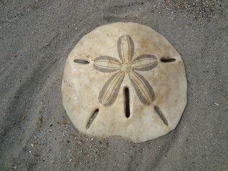 sand dollar sand dollar decor doves poem sand dolar 372 68 sand dollar ...