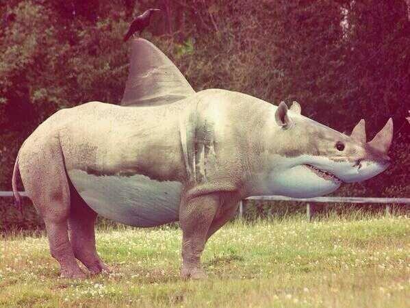 Rhino Shark