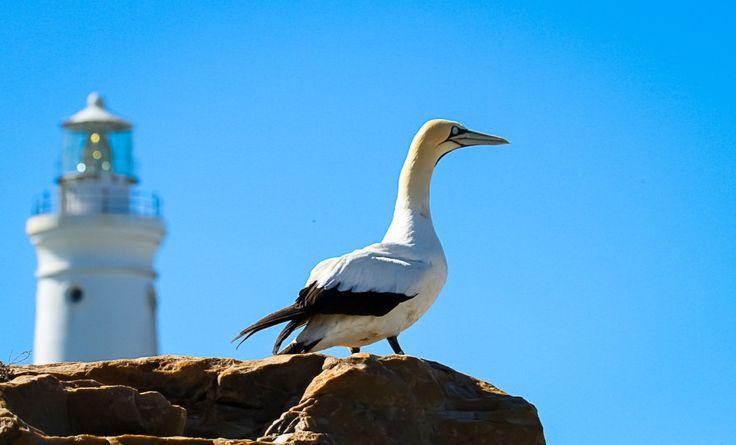 Cape Gannet & Seal Point lighthouse