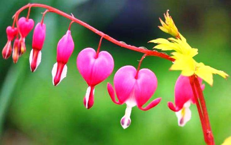 Ağlayan Kalpler Çiçeği Çiçekleri aşkı temsil eden kalp motişerine benzer. Çiçeklerin alt ucunda damla gibi uzantısı olur. Bu yüzden sanki ağlıyor ya da kanıyor hissi verir. İnsanlar da bu bitkiye 'kanayan kalpler' ya da 'ağlayan kalpler' adını vermiştir. Çiçekli bordürlerde, gölge alanlarda özellikle yeşil yapraklıların arasında daha çok dikkat çeker. Pembe içinden çıkmış beyaz çiçeklerin, bir de bembeyaz olanları vardır.