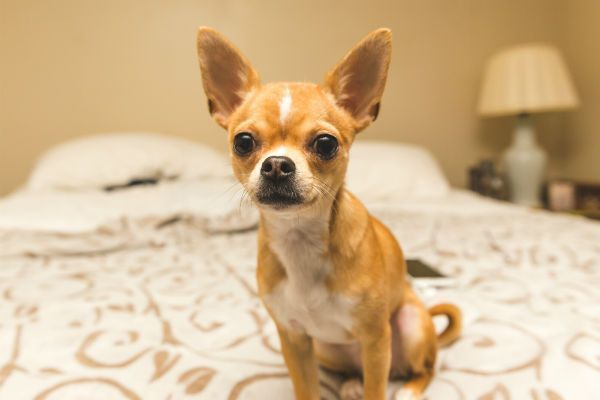 Gertie The Famous Chihuahua Chihuahua Puppy Sites Baby