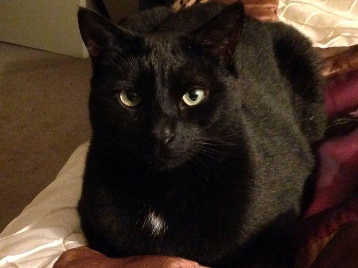 Miss Small Black Cat