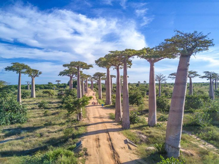 The Avenue of the Baobabs is a group of Baobab trees lining a dirt road but actually a national road in Madagascar