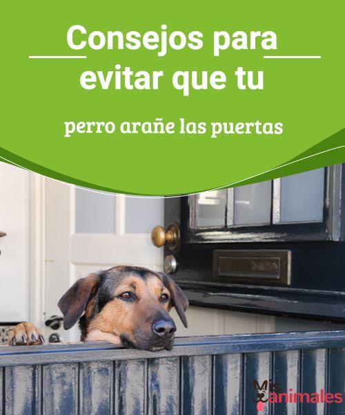Consejos para evitar que tu perro arañe las puertas  Para evitar que tu perro arañe las puertas de tu casa, tienes que intentar que se acostumbre a estar solo, o mejor dicho, que aprenda a estar sin ti. #consejos #sinti #enseñar